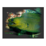 Famouse Green Moray Eel Post Card
