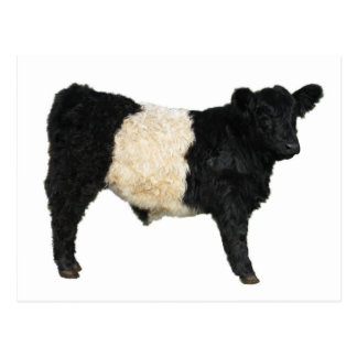 Fancy an Oreo? Belted Galloway Cow Postcard