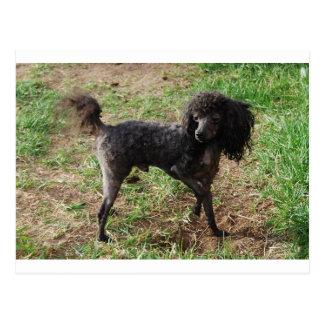 Fancy Black Prancing Poodle Postcard