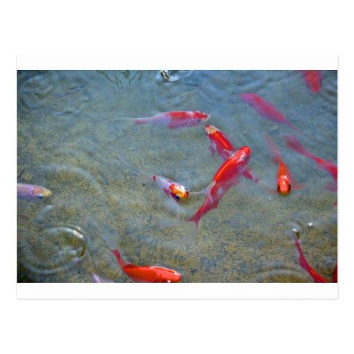 fancy gold fish postcard