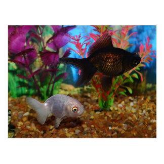 Fancy Goldfish Lionhead Black Moor Postcard