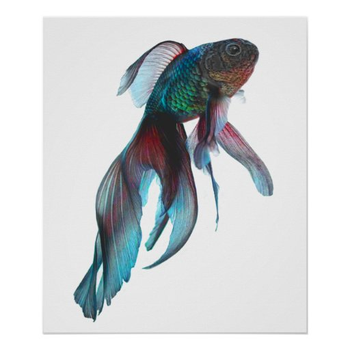 Fancy goldfish poster zazzle for The fancy fish