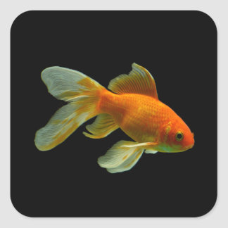 Fancy Goldfish Stickers Square Stickers