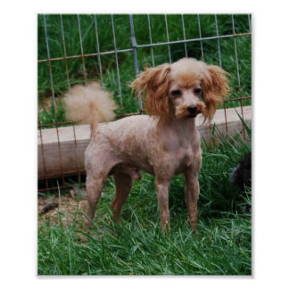 Fancy Red Apricot Toy poodle boy Poster