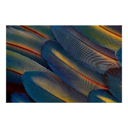 Fanned Out Scarlet Macaw Feathers Poster
