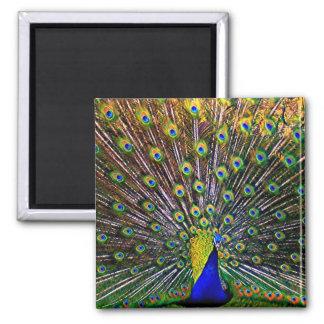 Fanning Peacock Magnet