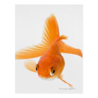 Fantail goldfish (Carassius auratus) Postcard