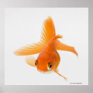 Fantail goldfish (Carassius auratus) Poster