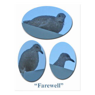 Farewell Juvenile Glaucous-winged Gulls Postcard
