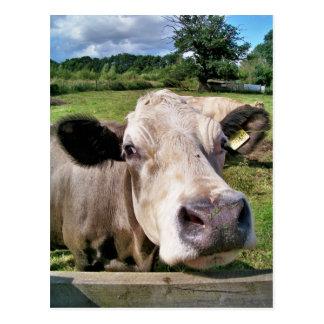 FARM ANIMALS, CUTE COW POSTCARD