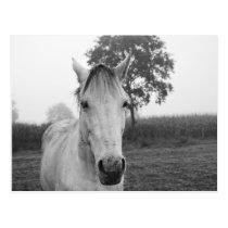 Farm Black and White Animal Photography Horse Postcard