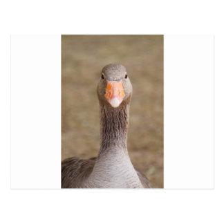 Farm Goose Postcard