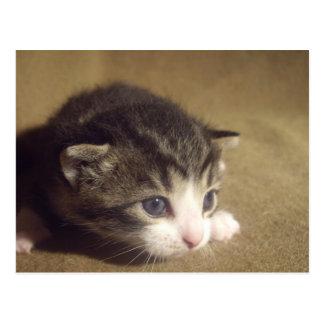 Fascinated Kitten Postcard