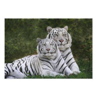 Fase blanca, tigre de Bengala, el Tigris Fotografía