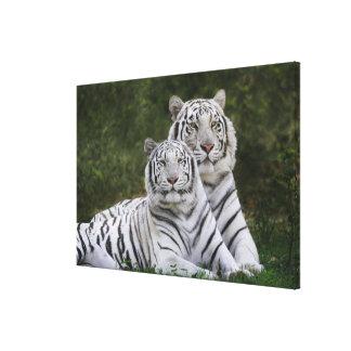 Fase blanca, tigre de Bengala, el Tigris Impresiones En Lienzo Estiradas