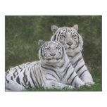 Fase blanca, tigre de Bengala, el Tigris Impresión En Madera