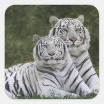 Fase blanca, tigre de Bengala, el Tigris Pegatina Cuadrada