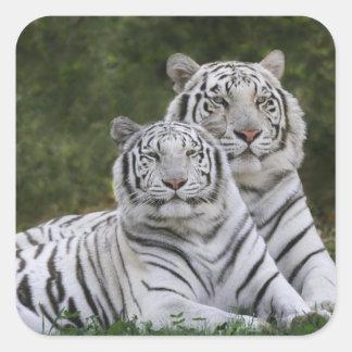 Fase blanca, tigre de Bengala, el Tigris Calcomanias Cuadradas