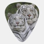 Fase blanca, tigre de Bengala, el Tigris Plectro