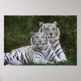 Fase blanca, tigre de Bengala, el Tigris Póster