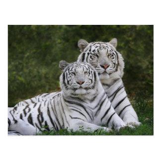 Fase blanca tigre de Bengala el Tigris Postales
