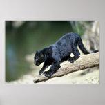 fase-cachorro Leopardo-negro Impresiones
