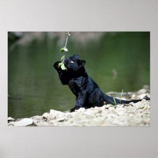 fase-cachorro Leopardo-negro Póster
