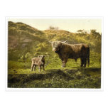 Father and son (highland cattle), England classic Postcards