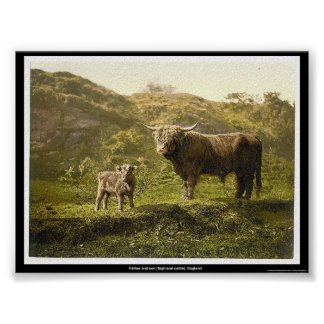 Father and son highland cattle England Poster