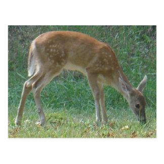 faun, baby deer at Lake Arrowhead Postcard