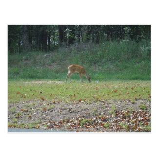 faun, baby deer at Lake Arrowhead Postcards