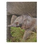 Fauna de África, Kenia, elefante del bebé Cuaderno