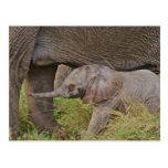 Fauna de África, Kenia, elefante del bebé Tarjetas Postales