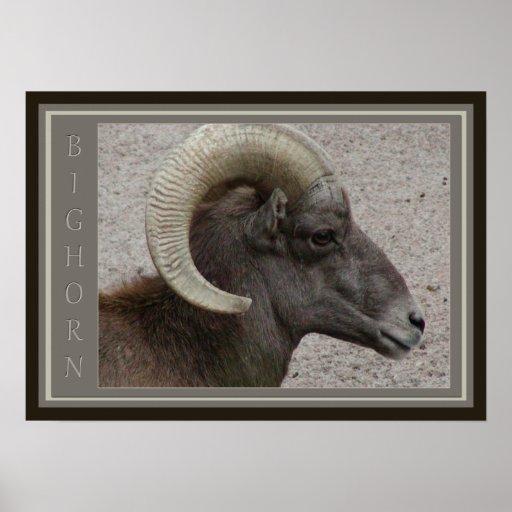 Fauna de las ovejas de Bighorn Póster