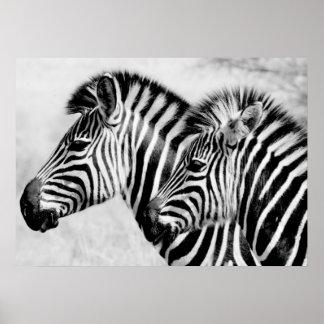Fauna de los animales de las cebras blanco y negro póster