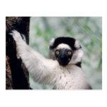 Fauna fijada - primates 12