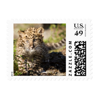 Fauna linda del leopardo de Amur Estampillas