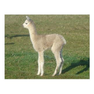 Fawn alpaca cria postcard