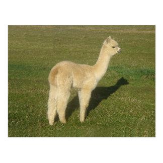 Fawn alpaca postcard