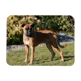 Fawn Boxer Dog Standing Magnet