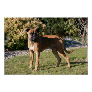 Fawn Boxer Dog Standing Poster
