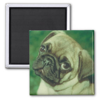 Fawn Chinese Pug 2 Inch Square Magnet