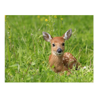 Fawn Postcards