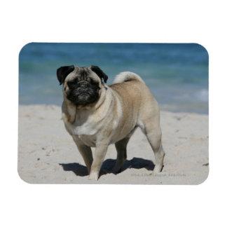 Fawn Pug at the Beach Rectangular Photo Magnet
