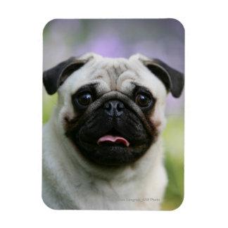 Fawn Pug on Alert Rectangular Photo Magnet