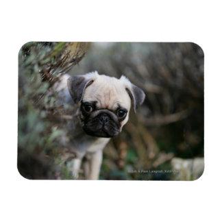 Fawn Pug Puppy Headshot Rectangular Photo Magnet