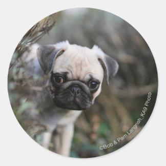 Fawn Pug Puppy Headshot Sticker