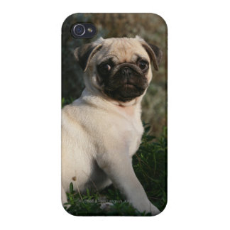 Fawn Pug Puppy Sitting iPhone 4/4S Covers