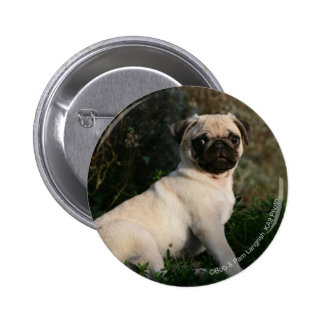 Fawn Pug Puppy Sitting Pinback Button
