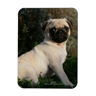 Fawn Pug Puppy Sitting Rectangular Photo Magnet